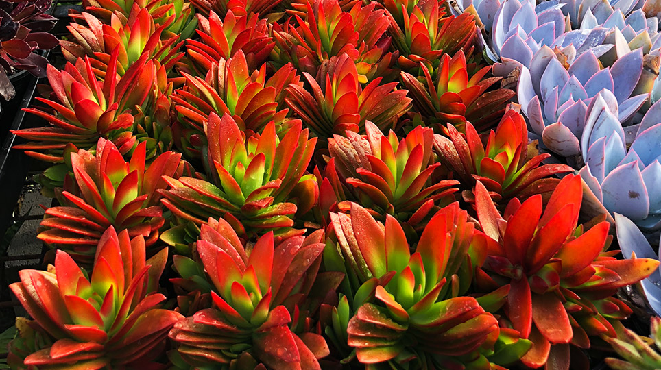 Succulents at our Exotic Nursery - Bamboo South Coast Exotic Plant Nursery