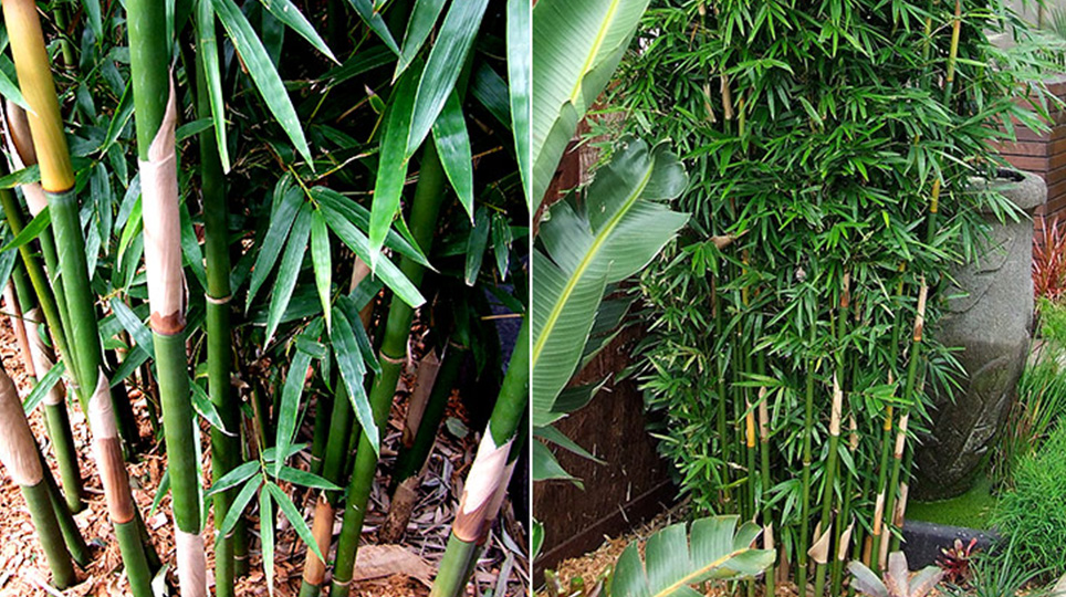 Slender Weavers Bamboo available at Bamboo South Coast Exotic Plant Nursery