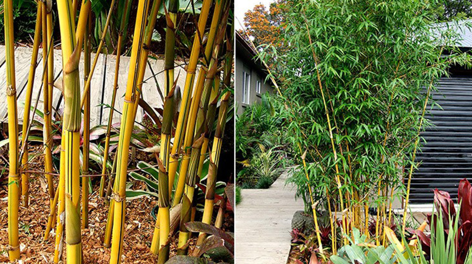 China Gold Bamboo available at Bamboo South Coast Exotic Plant Nursery