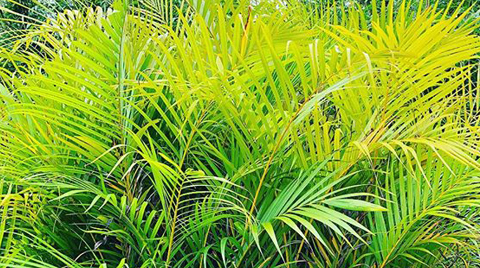 Palms available at Bamboo South Coast Exotic Plant Nursery