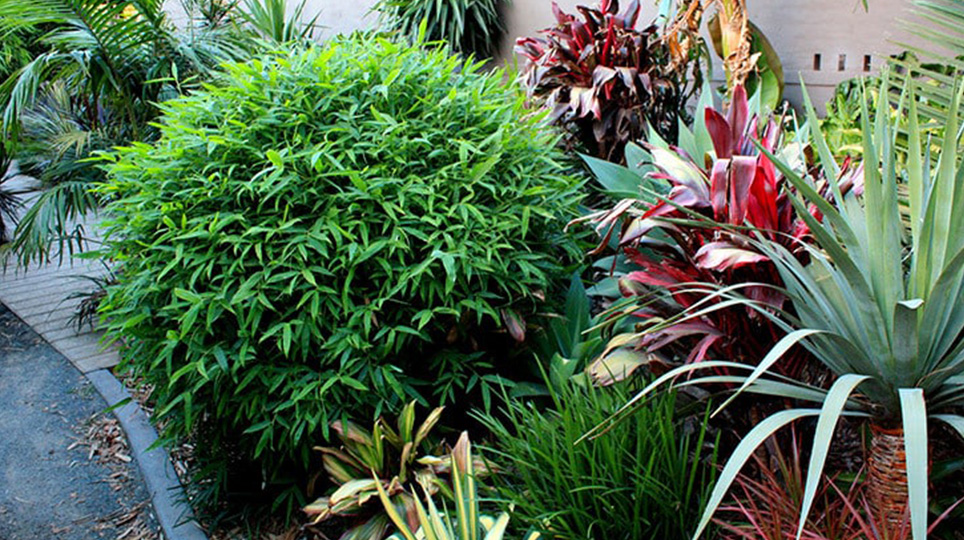 Chinese Dwarf Bamboo available at Bamboo South Coast Exotic Plant Nursery