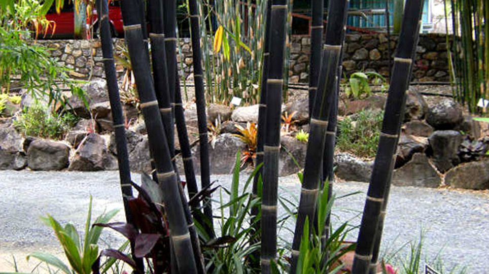 Java Black Bamboo available at Bamboo South Coast Exotic Plant Nursery