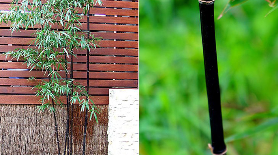 Running Black Bamboo available at Bamboo South Coast Exotic Plant Nursery