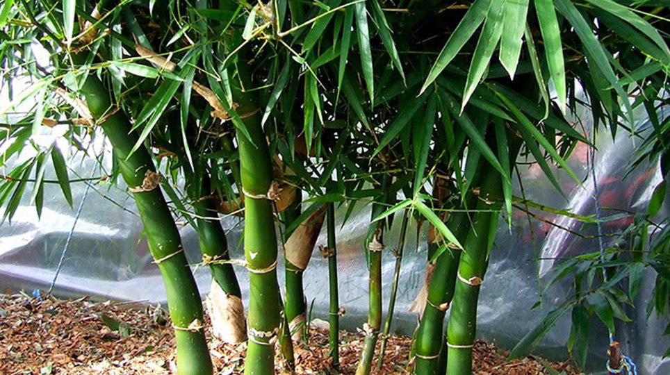 Giant Buddahs Belly Bamboo available at Bamboo South Coast Exotic Plant Nursery