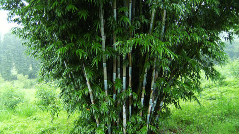 Bamboo South Coast – Exotic Plant Nursery and Landscape