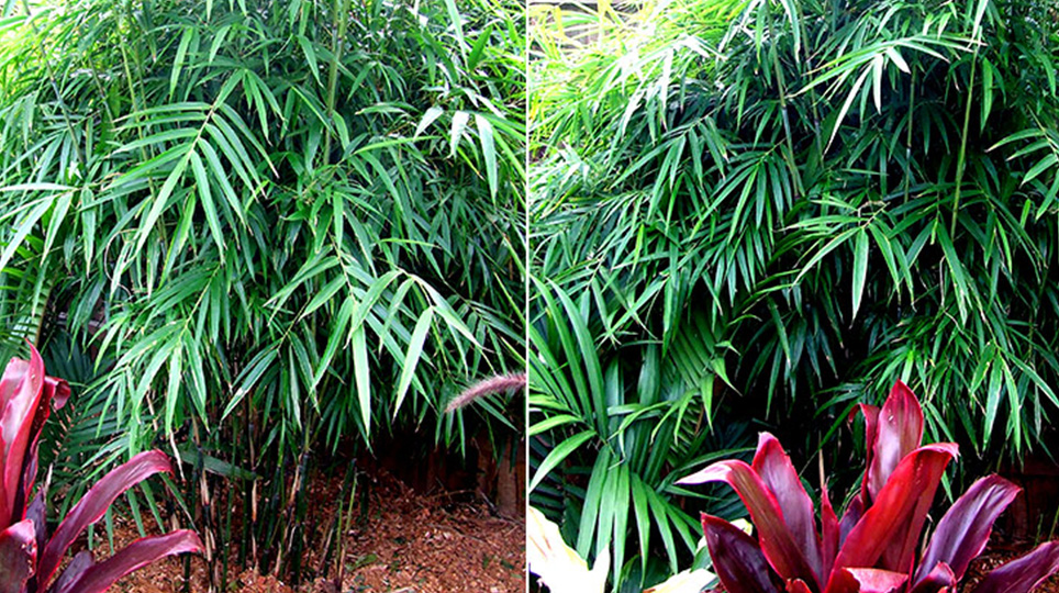 Khasia Bamboo available at Bamboo South Coast Exotic Plant Nursery
