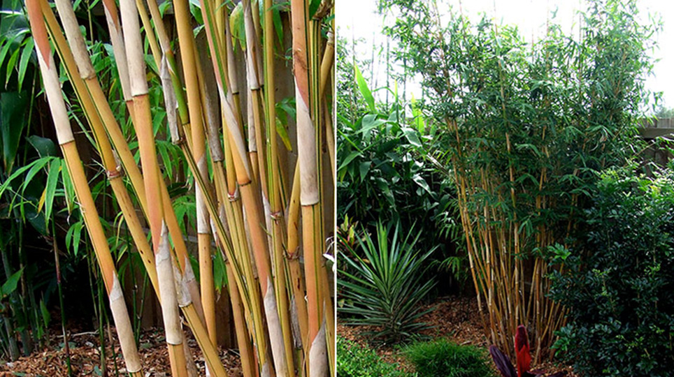 Alphonse Karr Bamboo available at Bamboo South Coast Exotic Plant Nursery