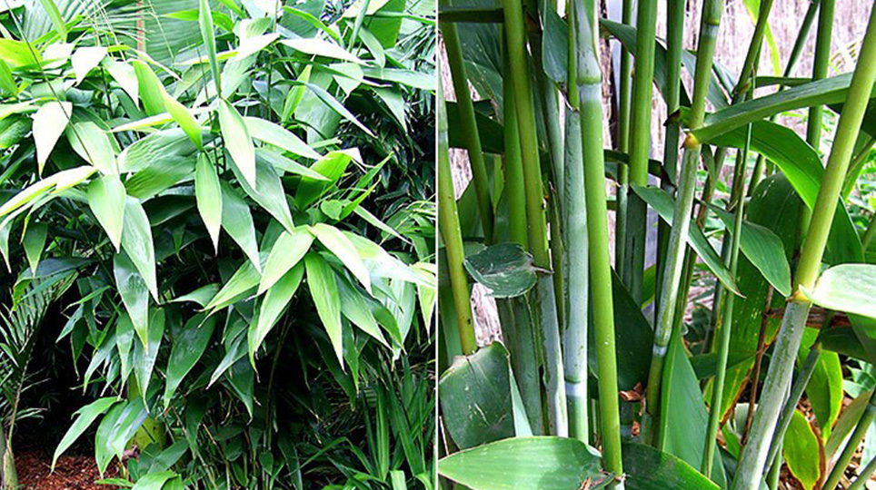 Tiger Grass available at Bamboo South Coast Exotic Plant Nursery