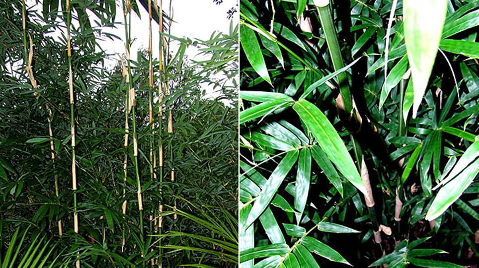 Goldstripe Bamboo available at Bamboo South Coast Exotic Plant Nursery