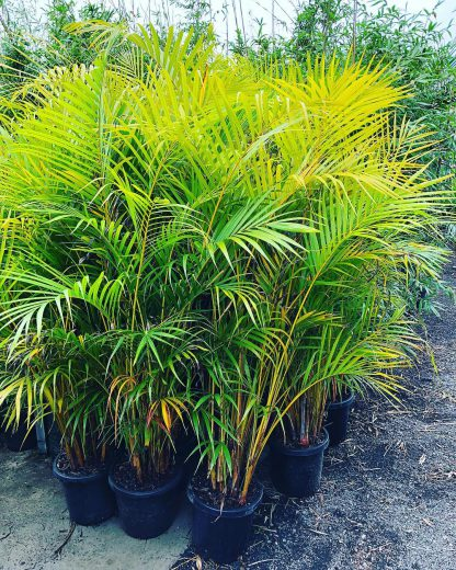Golden Cane Palm available at Bamboo South Coast