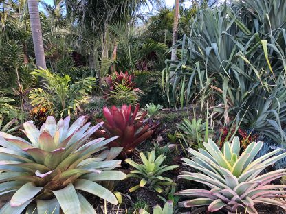 Various Bromeliads available at Bamboo South Coast