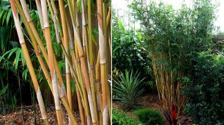 Alphonse Karr Bamboo available at Bamboo South Coast