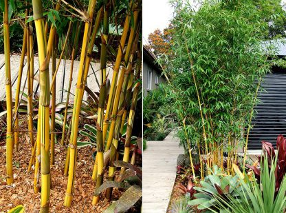 China Gold Bamboo available at Bamboo South Coast