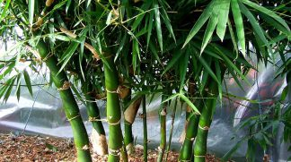 Giant Buddahs Belly Bamboo  available at Bamboo South Coast