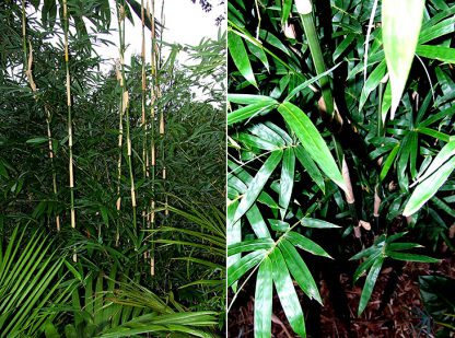 Goldstripe Bamboo available at Bamboo South Coast
