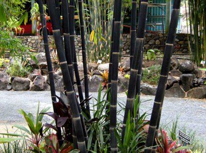 Java Black Bamboo available at Bamboo South Coast