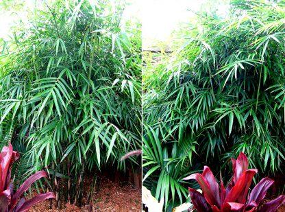 Khasia Bamboo available at Bamboo South Coast