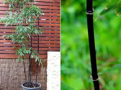 Running Black Bamboo available at Bamboo South Coast