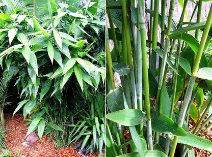 Tiger Grass available at Bamboo South Coast