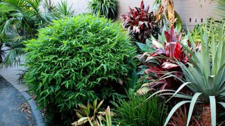 Chinese Dwarf Bamboo available at Bamboo South Coast