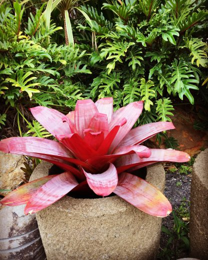 Alcanterea Hellfire Bromeliads available at Bamboo South Coast Exotic Plant Nursery