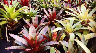 Mixed Alcanterea Bromeliads available at Bamboo South Coast Exotic Plant Nursery