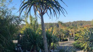Tree Aloe Aloe Barberae 230L