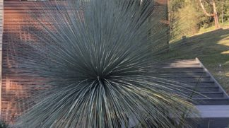 Established blue grass tree in project on Berry Mt NSW