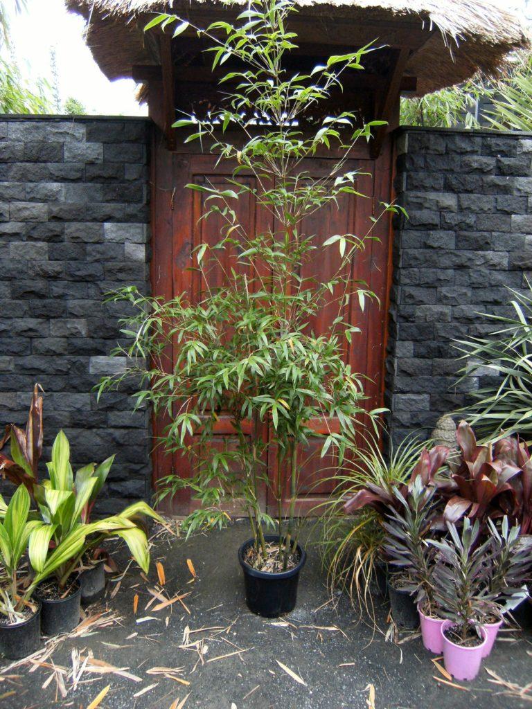 300mm pot Slender weavers bamboo