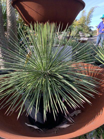 Agave Geminiflora 300mm pot $88