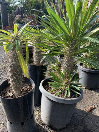 Pachypodium Lamerii Madagasgar palm