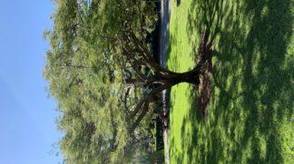 Delonix Regina Royal Poinciana Bamboo South Coast