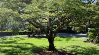 Delonix Regina Royal Poinciana Bamboo South Coast