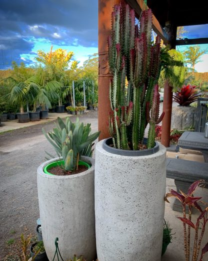 Smooth concrete pots with cacti