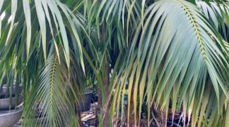 Lord Howe Island Kentia Palm