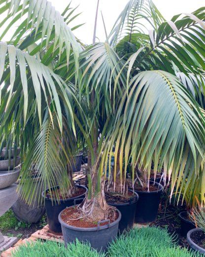 Lord Howe Island Kentia Palm