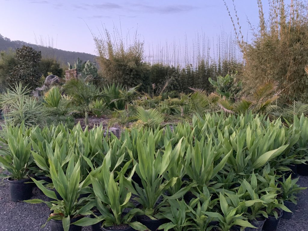 Qld Spear Lilly 300mm & 200mm pots