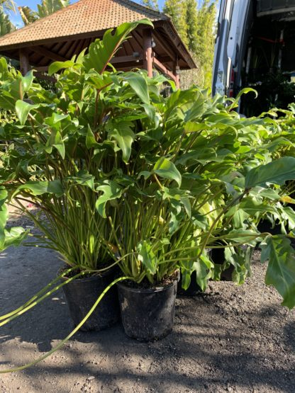 Philodendron Xanadu 200mm
