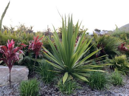 Doryanthes palmeri (QLD Spear Lilly)