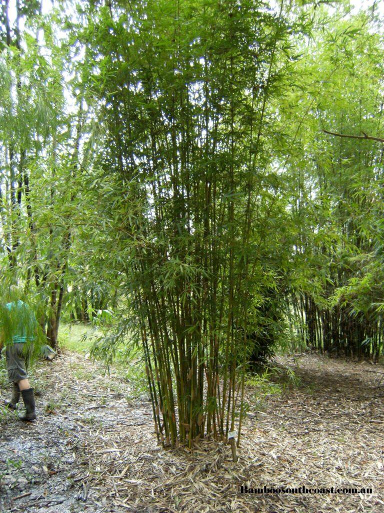 Bambusa Textilis Gracilis Slender weavers bamboo
