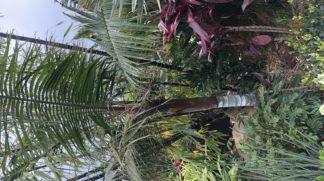 Teddy bear or Redneck palm