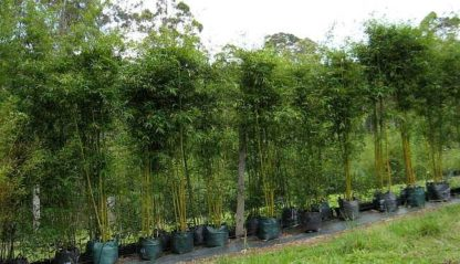 Bambusa textilis slender weavers Gracilis 45L