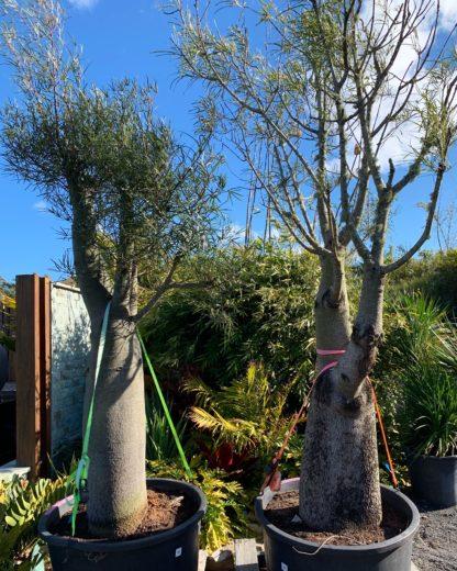 Qld Bottle tree pots