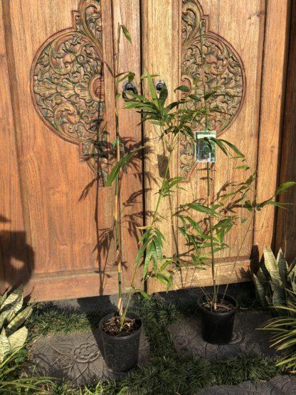 200mm pot Slender weavers Gracilis Bamboo