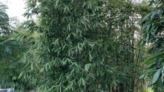 Giant timber bamboo (Bambusa Oldhamii)