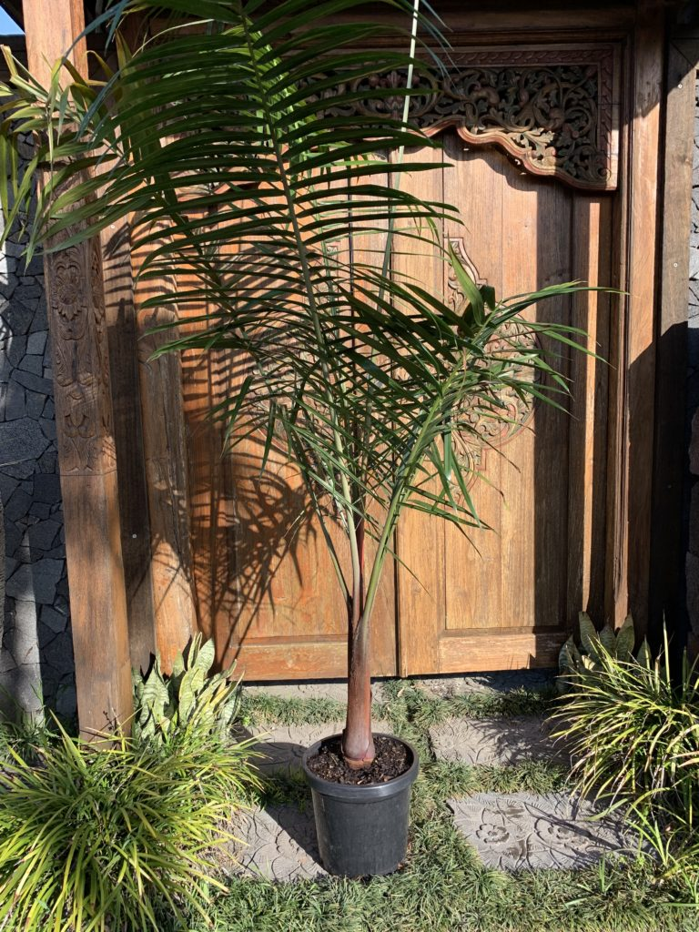 Teddy Bear or Redneck palm in 300mm pot 1.5m