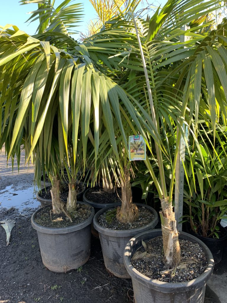 600mm kentia palms 4 year old full sun