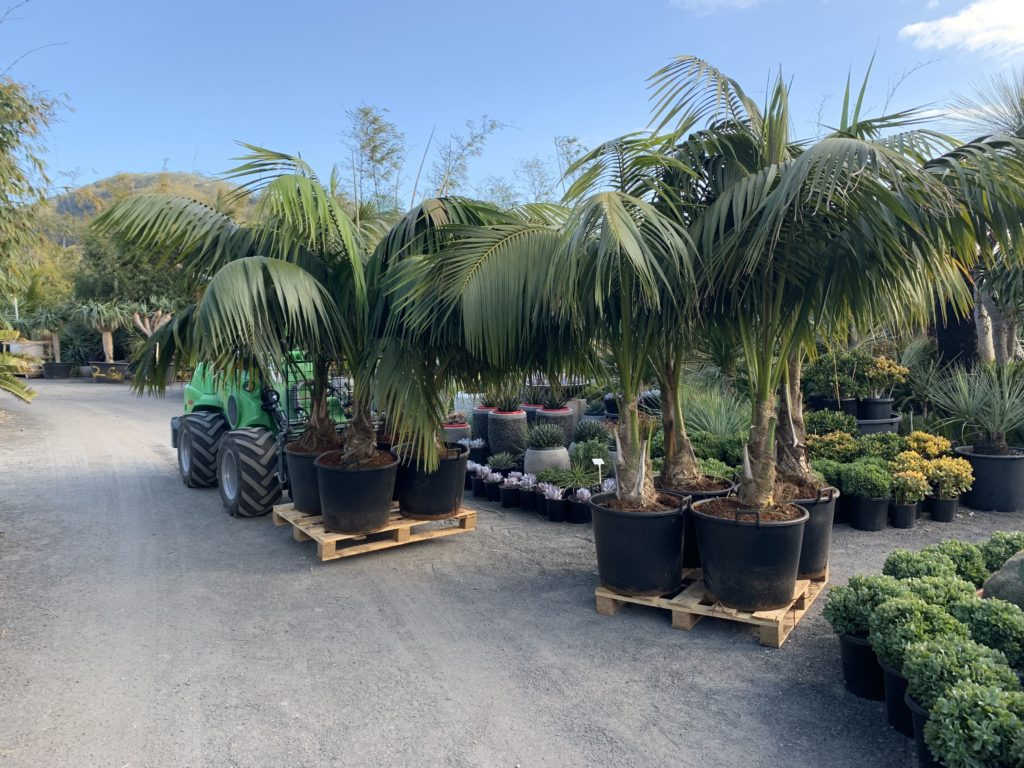 110L kentia palms 9year old full sun