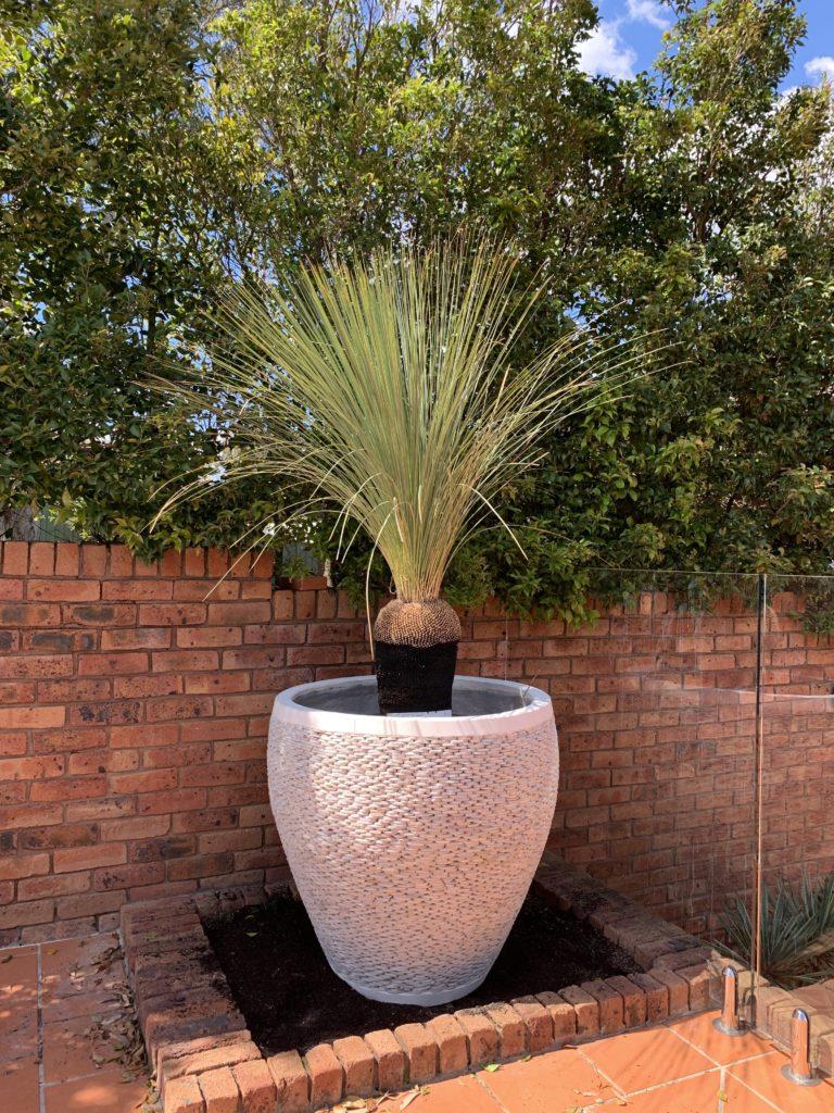 90cm pebble white pot featuring grass tree