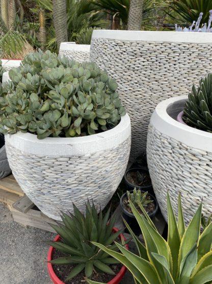 60cm pebble white pots with agave Victoria Reginae And Crassula Bluebird
